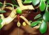 Как правильно ухаживать за денежным деревом?  Автор: Александр Смирнов